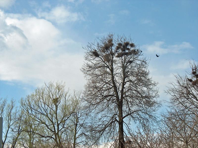 Rook nests.