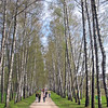 Birch Alley on the Tolstoy estate.