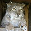 Naida the lynx, lives outdoors.