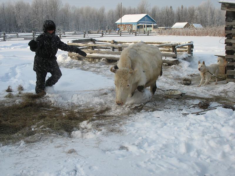 Herding Eskander's cow into the stable.