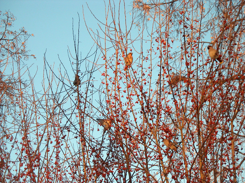 Waxwing birds.