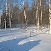 Black Grouse hide under the snow. Тетерева здесь под снегом...
