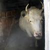 Eskander's cow.