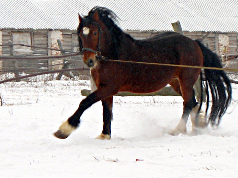 A Vladimir Heavy Draft horse showing off in the snow. Yuriev-Polski Horse Farm. (Vladimir region, Russia)