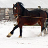 A Vladimir Heavy Draft horse showing off in the snow. Yuriev-Polski Horse Farm. (Vladimir region, Russia)