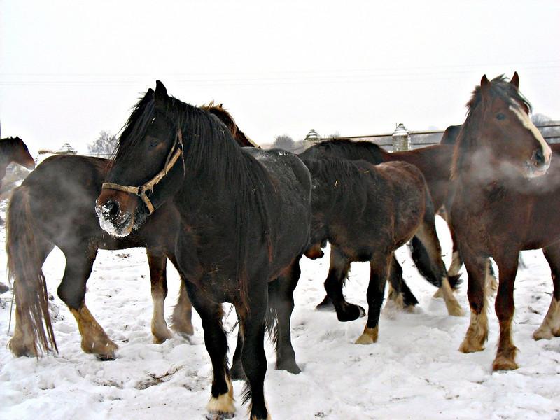 Vladimir Heavy Draft Horses. Yuriev-Polski Horse Farm.