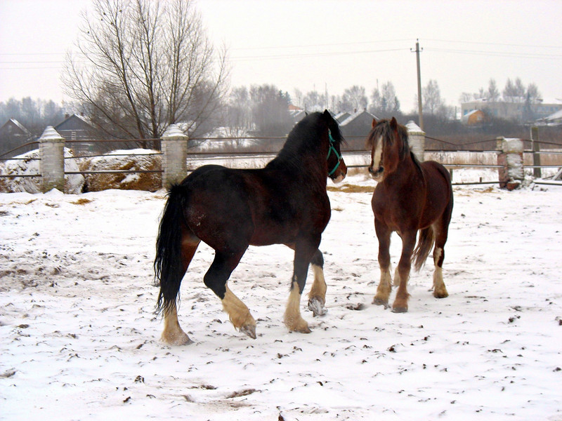Young stallion stand off.