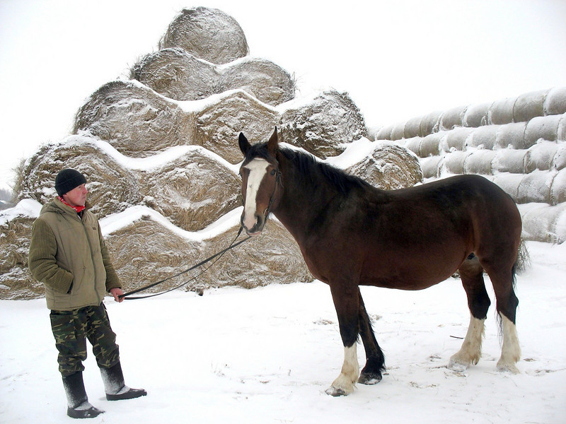Vladimir Heavy Draft horse standing near piles of frozen hay.