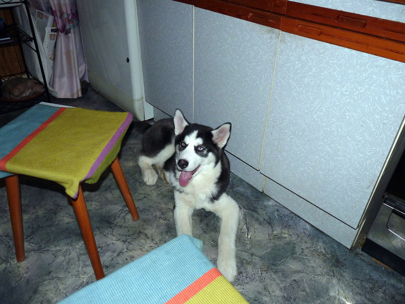 Зидан, пёс Саши Чилин-Гири. The Chillin-Giri's dog.