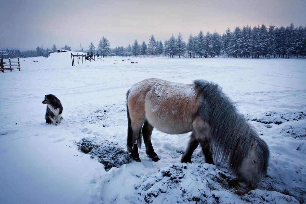 Yakutian horse.