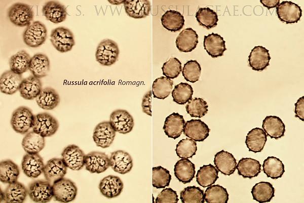 Russula acrifolia - plávka príkra
