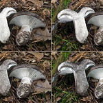 Russula albonigra - plávka čiernobiela