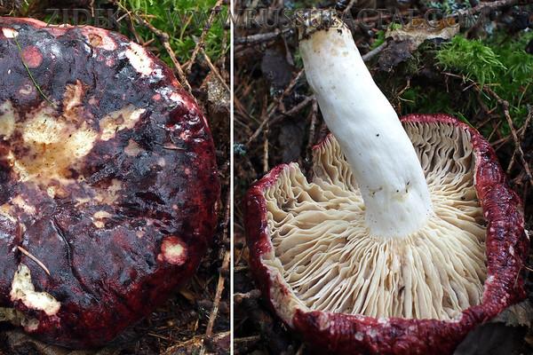 Russula alpigenes - plávka pečeňovočervená