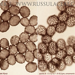 Russula betularum - plávka brezová