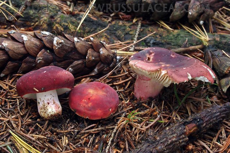 Russula brevissima - plávka