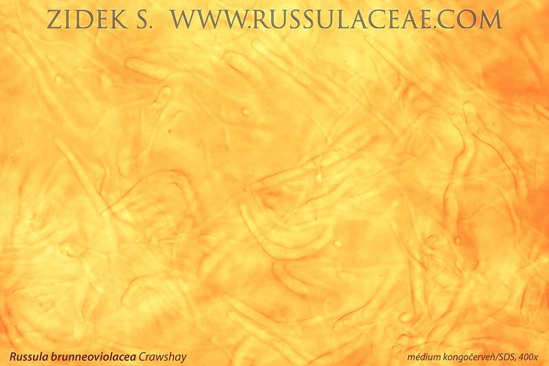 Russula brunneoviolacea - plávka hnedofialová
