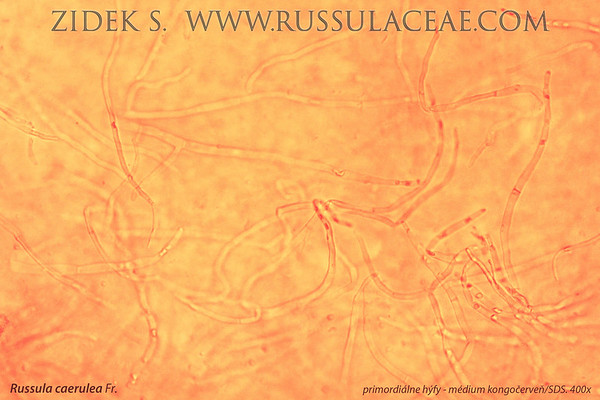 Russula caerulea - plávka horká