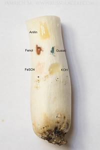 Russula carpini - plávka hrabová