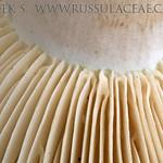 Russula chloroides - plávka lievikovitá