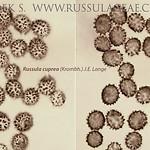 Russula cuprea - plávka meďovočervená