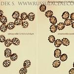 Russula curtipes - plávka krátkohlúbiková