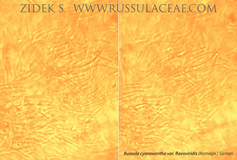 Russula cyanoxantha var.flavoviridis - plávka modrastá žltozelená