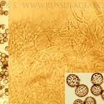Russula cyanoxantha var. variata - plávka modrastá odlišná