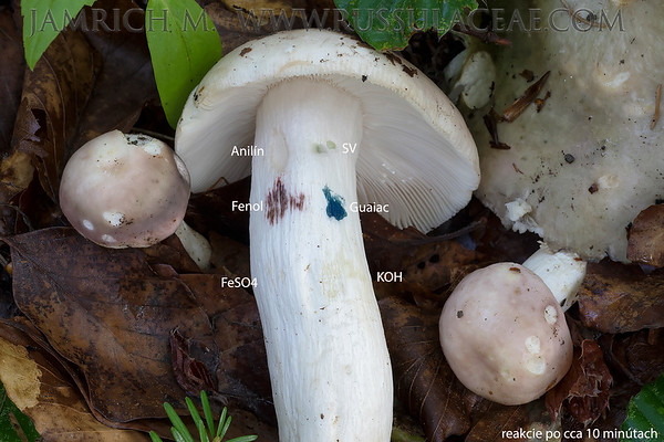 Russula cyanoxantha - plávka modrastá
