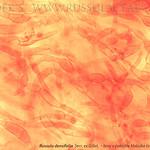 Russula densifolia - plávka hustolupeňová