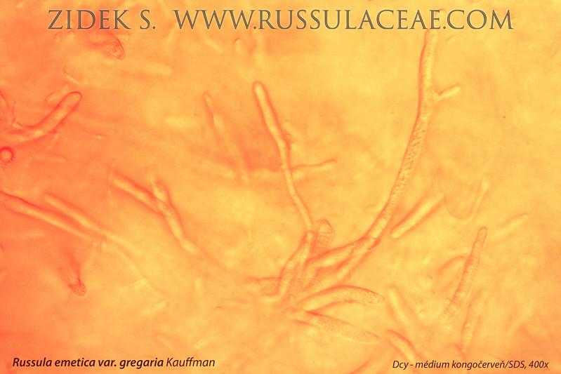 Russula emetica var. gregaria Kauffman - plávka