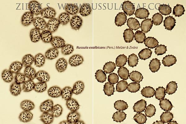 Russula exalbicans - plávka parková