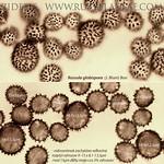 Russula globispora - plávka guľatovýtrusá