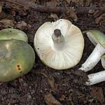 Russula heterophylla - plávka buková