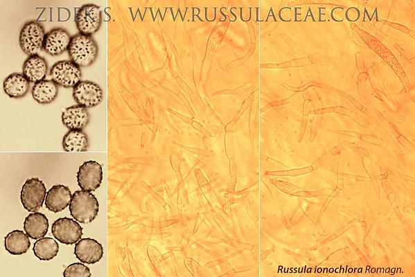 Russula ionochlora - plávka fialovozelená