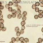 Russula laccata - plávka nórska