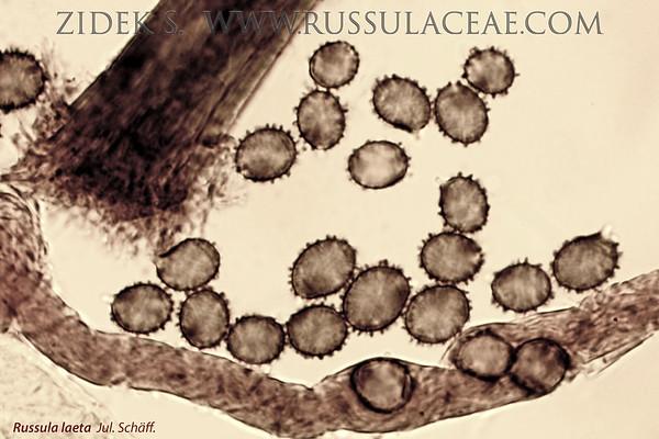 Russula laeta - plávka mäsovočervená