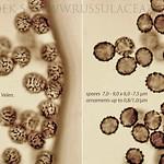 Russula laricina - plávka smrekovcová