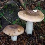 Russula lateritia - plávka tehlová
