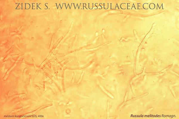 Russula melitodes - plávka zrnitobunková