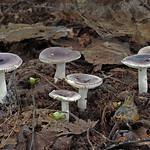 Russula pelargonia - plávka muškátová