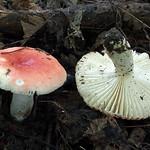 22.8.2014, Kremnické vrchy, 700 m, Q 7379, sub Fagus sylvatica, Carpinus betulus<br /> - herbár PHSZ