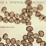 Russula pseudoromellii - plávka vínovoružová
