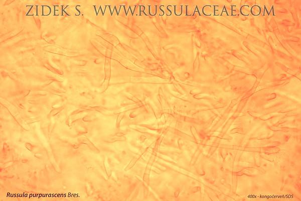 Russula purpurascens - plávka purpurová