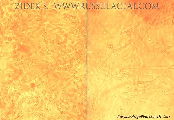 Russula risigallina - plávka menlivá