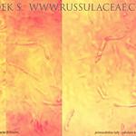 Russula subcompacta - plávka celistvá