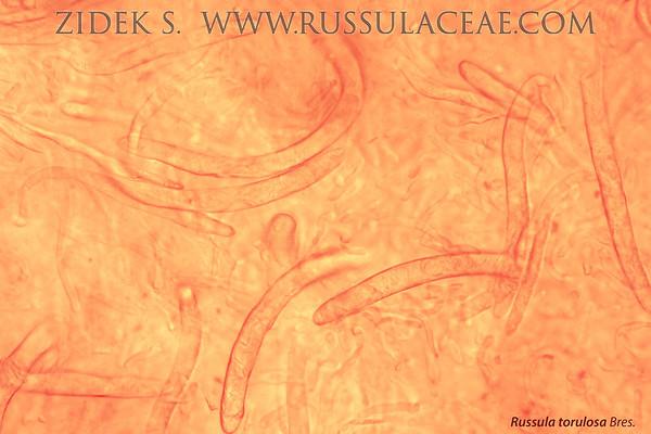 Russula torulosa - plávka zavalitá