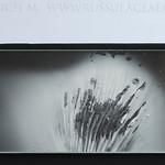Russula vesca - plávka mandľová