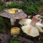 Russula violeipes - plávka fialovohlúbiková