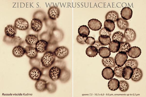 Russula viscida - plávka lepkavá