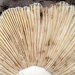 Russula viscida var. artesiana – plávka lepkavá statná